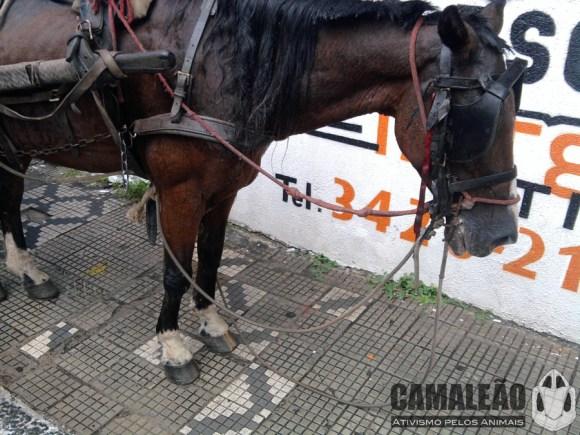votacao-para-proibicao-das-carrocas-em-taubate-e-nesta-segunda-cavalos-CAMALEÃO
