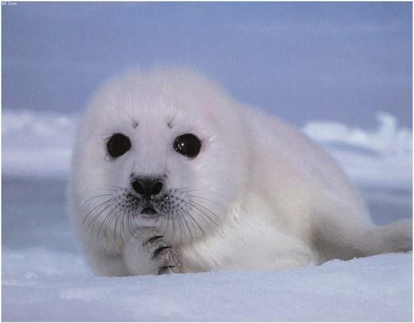 baby-seal-greenpeace-defende-caca-sustentavel-para-focas-paises-nordicos-ambientalistas-direitos-animais-especismo-antropocentrismo