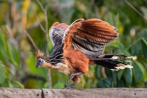 Hoatzin-Owen-Deutsch-por-que-sociedade-vegana-usa-uma-ave-como-representacao-cigana-jacu-Opisthocomus-veganismo-brasil-brazil
