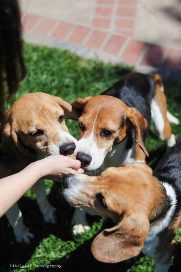 foto-exibe-momento-feliz-em-que-beagles-resgatados-comem-petiscos-estados-unidos-testes-animais-vivissecção-cosmeticos