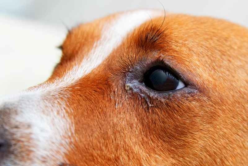 Dog Eyelids Facts And Common Problems
