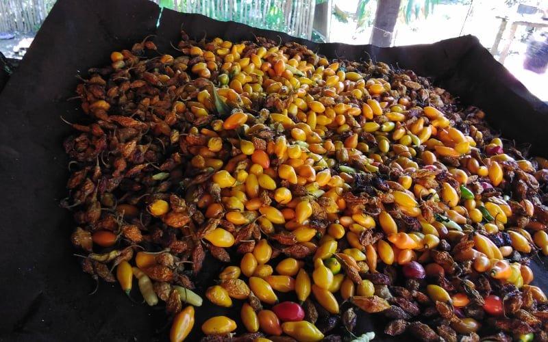 Ají moqueado (cocinado al humo) para luego ser triturado y convertido en polvo de ají, que será utilizado en las salsas picantes, producto que los jóvenes de La Asunción venderán luego.