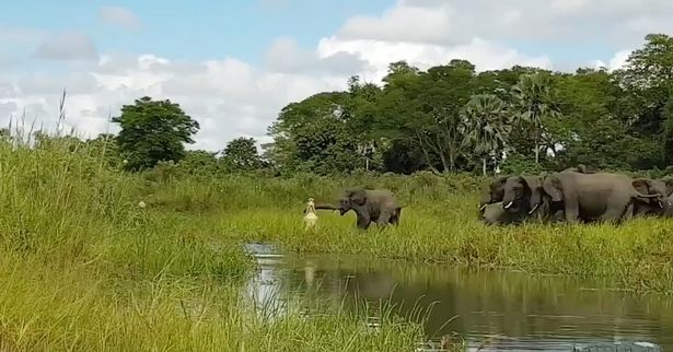 Tourist Captures Shocking Moment Crocodile Ambushes Baby Elephant croc elephant