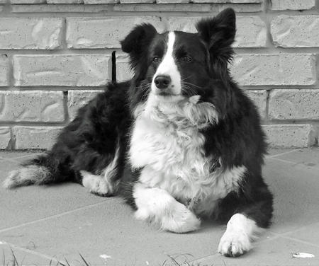 Differences Between A Border Collie Amp An Australian