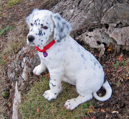 Compare An English Setter To A Springer Spaniel Dog Care