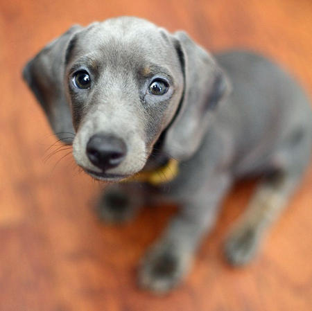 Slinky The Dachshund Puppies Daily Puppy