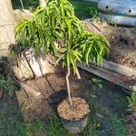 bonanza peach tree