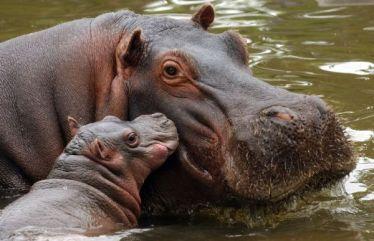 Resultat d'imatges de hipopotamo