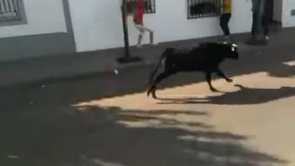 Vaquilla en Valdelacalzada