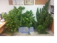 Policía Local de Lorca interviene varias plantas de marihuana en el paraje de Las Terreras