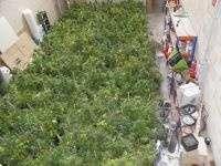 La Policía se incauta de casi 700 plantas de marihuana en Vitoria