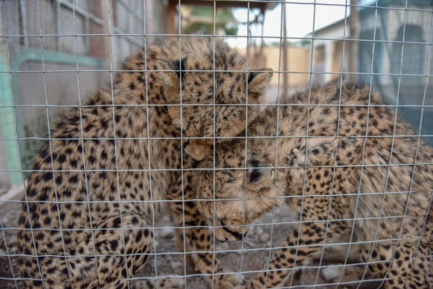 The chances of the cheetahs being rehabilitation i