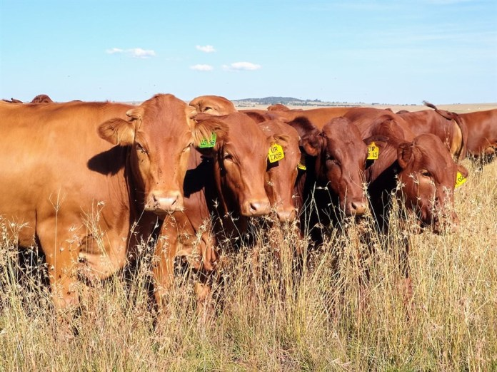 Afrikaner cattle breed on the experimental farm of the University of the Free State. (Supplied)