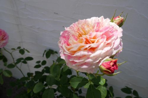 でもその中に、とても美味しそうな色合いの薔薇を見つけました。<br />バナナ&ストロベリーのアイスクリームのような綺麗な色です。<br /><br />品種名は クロード・モネ<br /><br />どこか売っているところで出会えたら我が家に迎えたいなー。