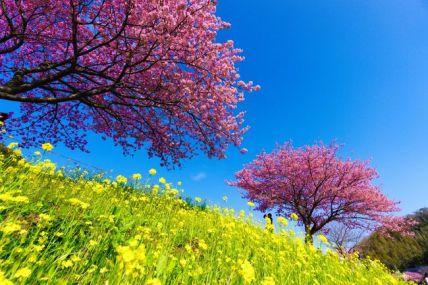 一足早い桜を見たくて、伊豆方面に河津桜を見に行きました。具体的には、河津町の「河津桜まつり」と南伊豆町の「みなみの桜と菜の花まつり」を見て回りました。都内からは思いのほか遠く、かつ日帰りで2箇所をはしごしたので、かなりの疲労を伴いましたが、この時期に桜を楽しめる機会として行ってみて正解でした。<br /><br />なお、この旅行記では後半の「みなみの桜と菜の花まつり」を取り上げます。<br /><br />【回った場所】<br />☆河津桜まつり(河津町)<br />★みなみの桜と菜の花まつり(南伊豆町)