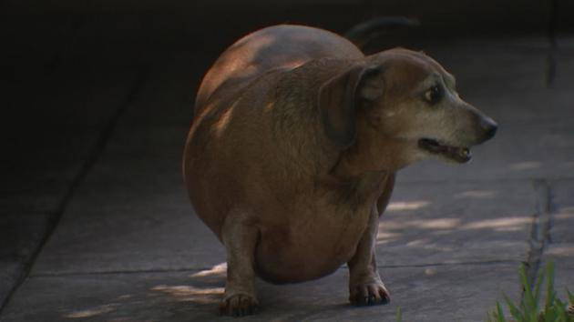 Group working to regain fat dog's health