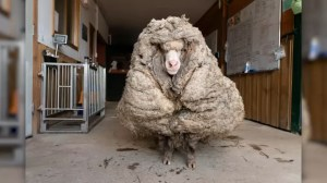Animal shelter cuts 78-pound wool from sheep rescued after years in the Australian bush