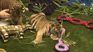 U.S. natural officials conduct Operation Jungle Book, the largest repression of animal trafficking in LA history