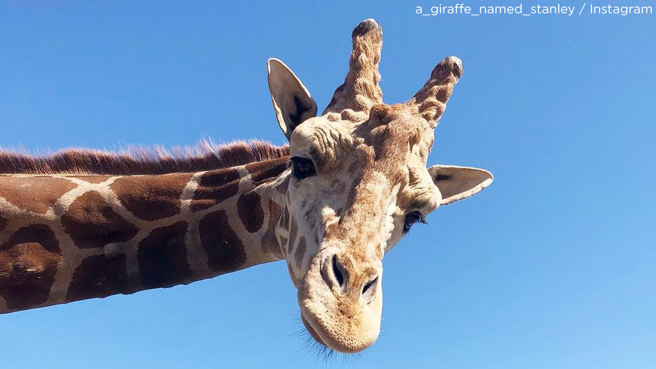 Stanley The Giraffe Is OK After Woolsey Fire Evacuations