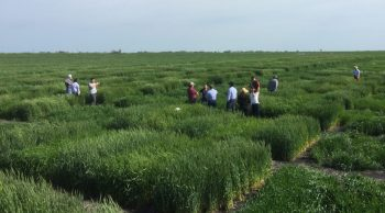 Lush green plots of hybridized wheat  are dotted with people walking through them