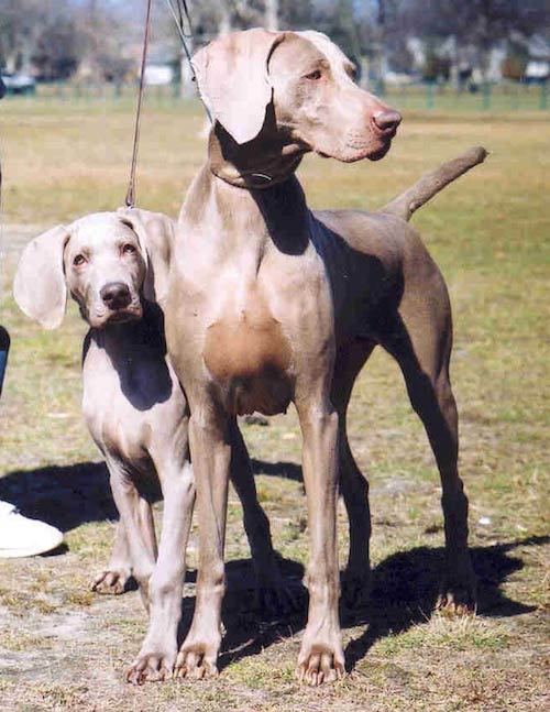Life With Weimaraners Tips From A Breeder American Kennel