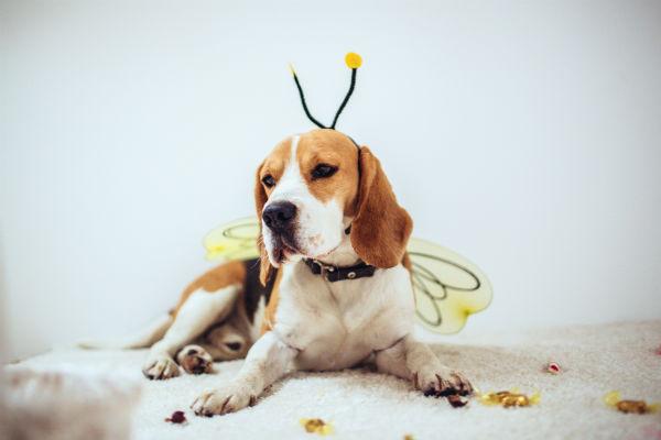 beagle bee
