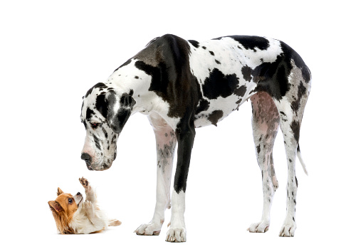 Why Small Dogs Behave Differently Than Large Dogs – American ...
