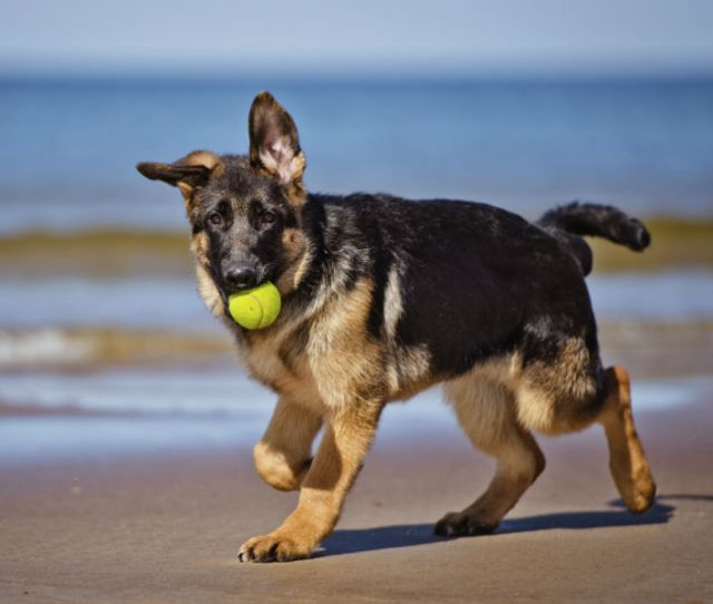 Amazing Facts About German Shepherd Dogs