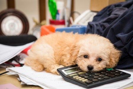 Tax Tips For Dog Breeders     American Kennel Club Tax Tips For Dog Breeders