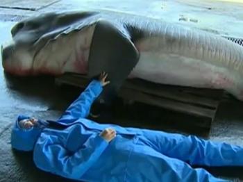 اصطياد سمكة قرش نادرة بفم عملاق في اليابان (صور)