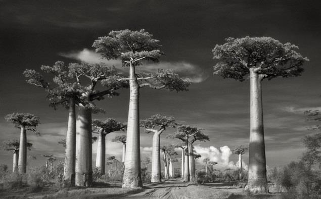 العديد من الأشجار الاستوائية في مدغشقر