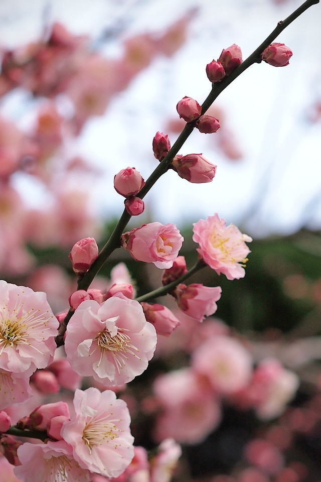 Cherry Blossoms Flowers Pink Blurred Background Wallpaper