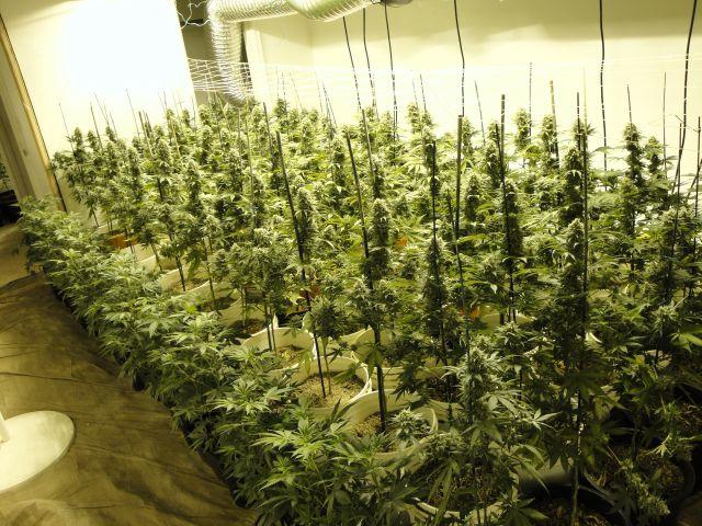 ポカリスウェットが大麻栽培の栄養剤?! | real cannabis magazine