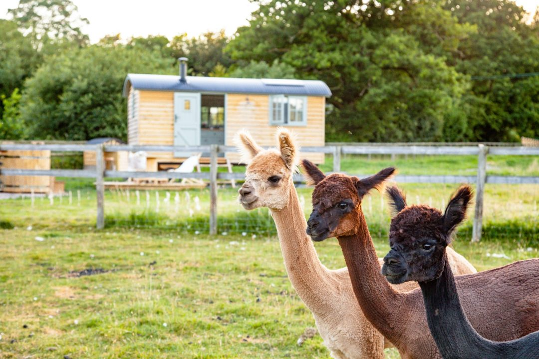 Rent this Rustic Tiny House in the Middle of the English Countryside (Alpacas and All)