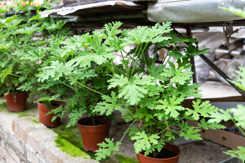 These Plants Repel Mosquitoes and Look So Much Better Than