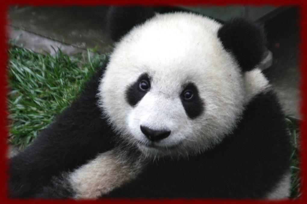 Panda Bears Wallpapers   Panda Bears Wallpapers