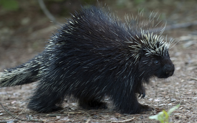 Prickly Porcupine Quills May Hold Clues For Medical