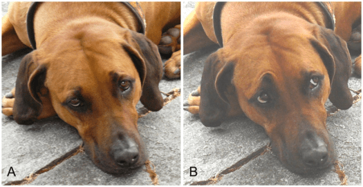 Two images of a dog showing different facial expressions.