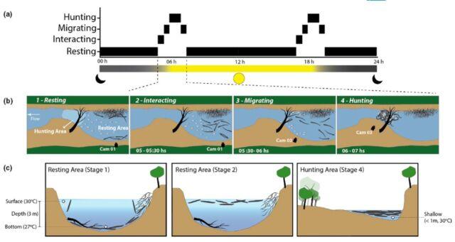 Ilustração esquemática das etapas envolvidas na predação social observada em enguias elétricas.