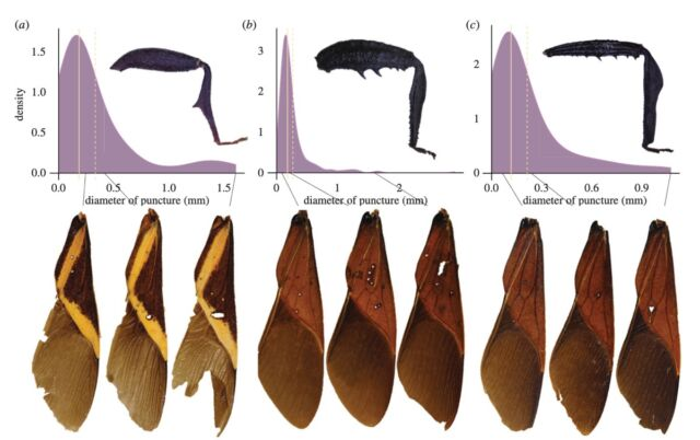 A sampling of the damage inflicted on mesquite bug forewings by opponents' leg spikes.