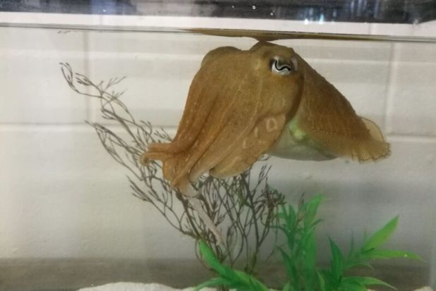 Aquatic invertibet like squid floating in an aquarium.