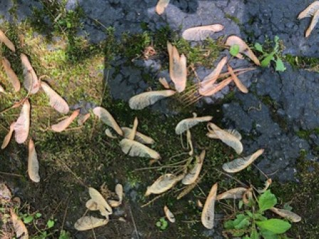 Maple Seeds on the ground