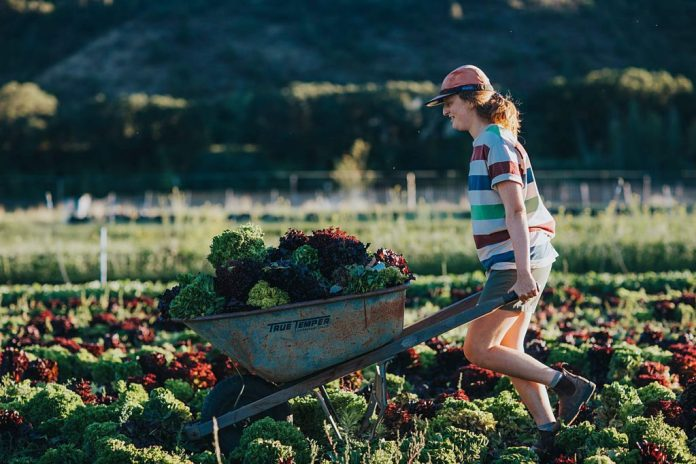 Dana Unger hauls the bounty from the vegetable fields of Rock Bottom Ranch.