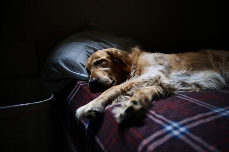 letto per cani addormentato
