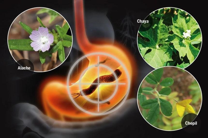 los quelites eliminan la bacteria que produce la gastritis