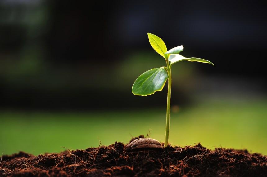 pianta che cresce per diventare un albero