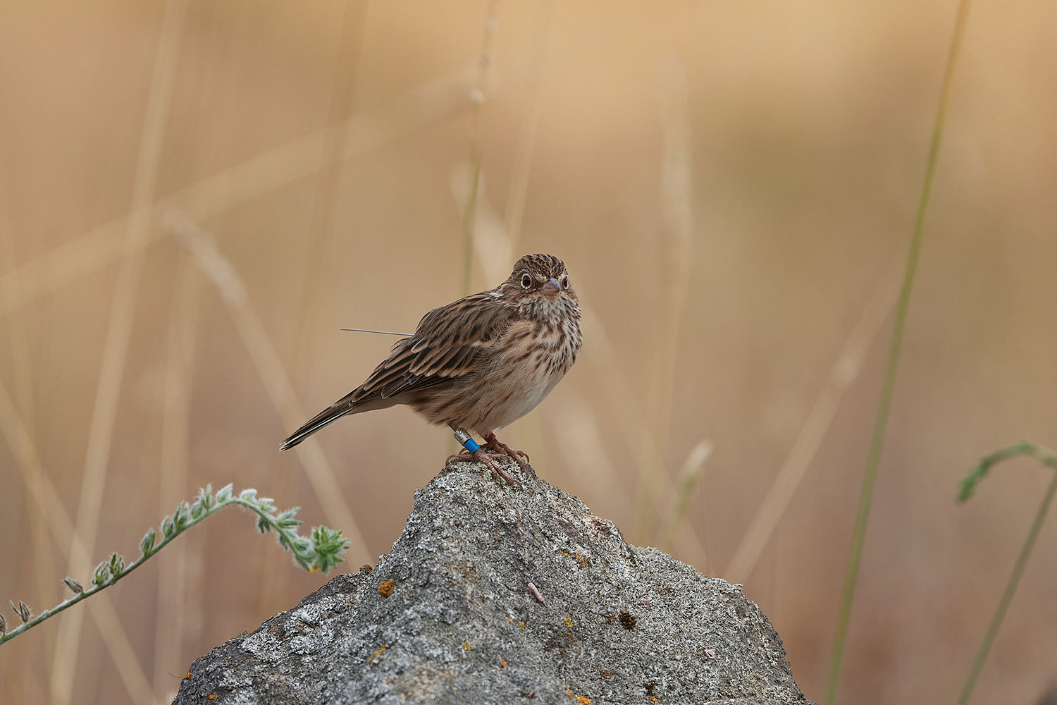 IMPERILED: An Oregon Vesper Sparrow carries a GPS tag. The subspecies has never been tracked year-round before, and new research aims to uncover important information about its migratory routes and overwintering areas. Photo by Frank Lospalluto