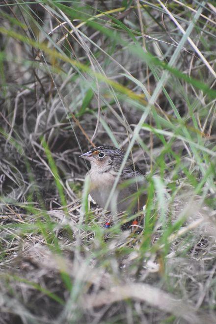 Endangered Grasshopper Sparrow Photo Tatiana Villante edit