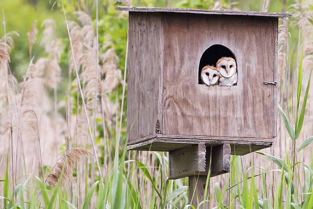Barn Owl fledglings at Big John's Pond