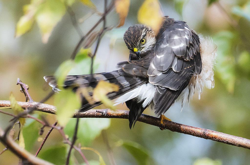 Cooper's Hawk at Big John's Pond